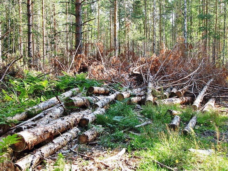 В Гаврилов-Ямском районе незаконно вырубают лес.
