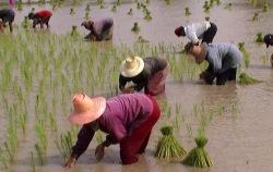 rice_thailand