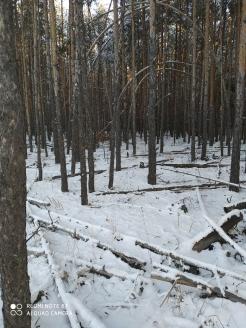 2 фото_Медведево. Куяр лесхоз. 28, 114 кв.17 нояб 2020.