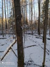 6 фото_Звенигов. лес. Керемлак. 79,80,81 кв.15 нояб 2020.